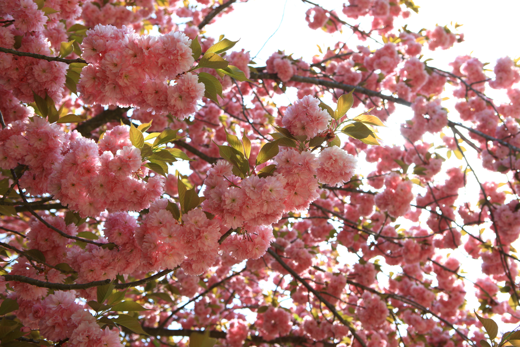 (Spring) Busan & Gyeongju King Cherry Blossom One Day Tour