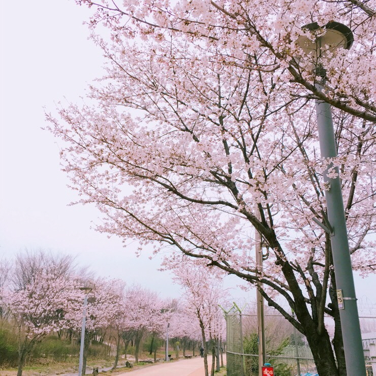 (Spring) Seoul Cherry Blossom Random One Day Tour