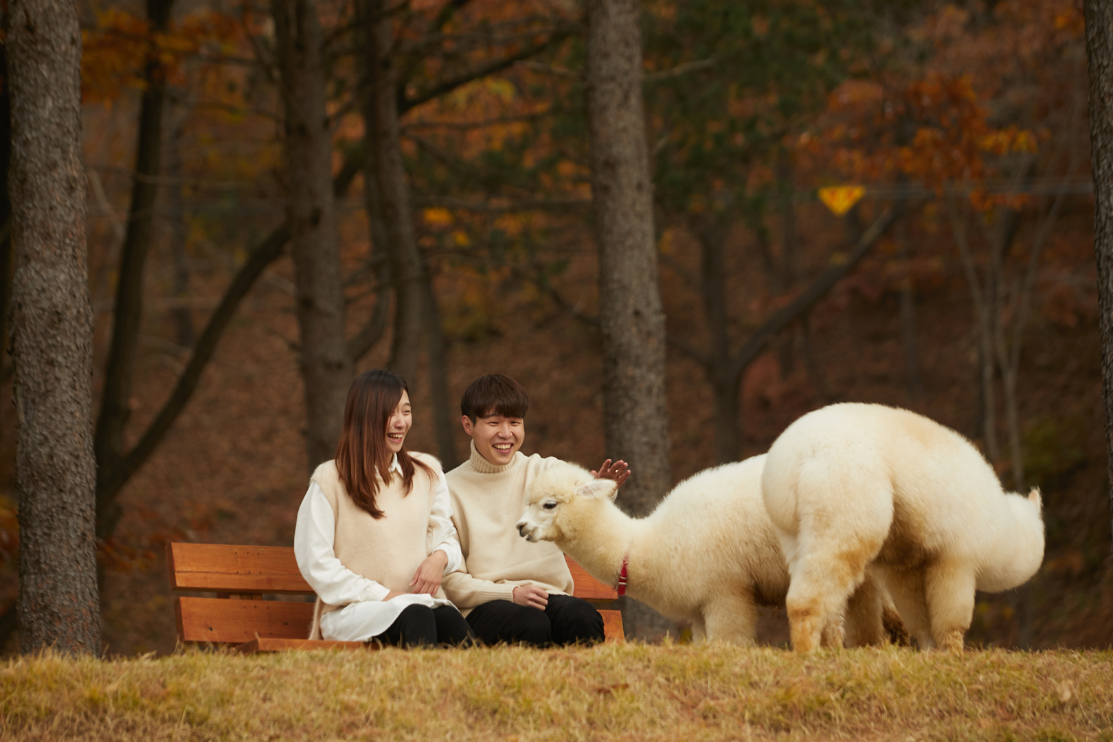 Alpaca World (Chuncheon City) One Day Tour
