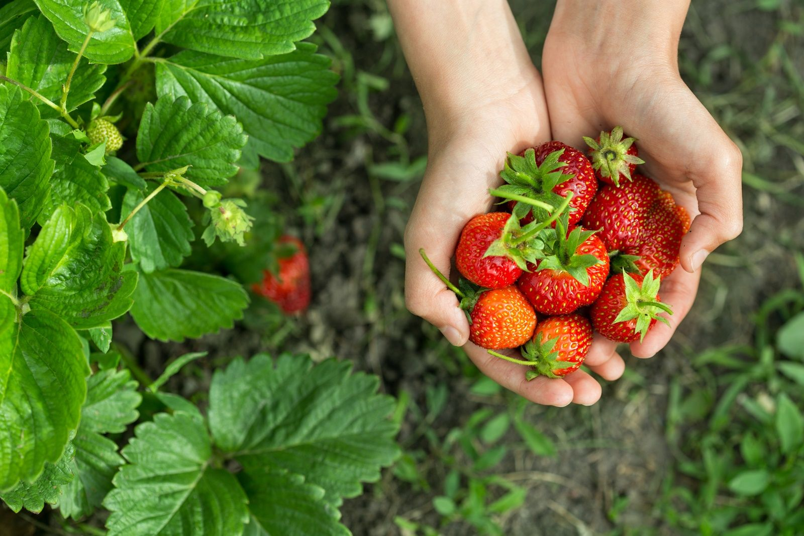 (Winter & Spring) Strawberry Picking + Nami Island + Petite France + The Garden of Morning Calm One Day Tour
