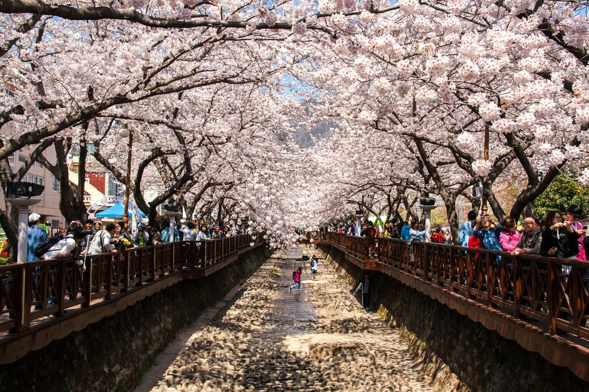 (봄) 진해 군항제 벚꽃축제 (주간) - 부산출발