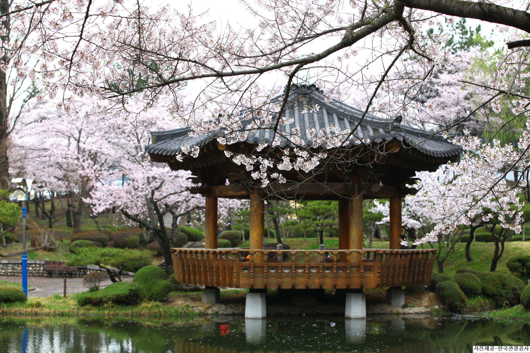 (Spring) Gyeongju Cherry Blossom One Day Tour - Depart from Busan
