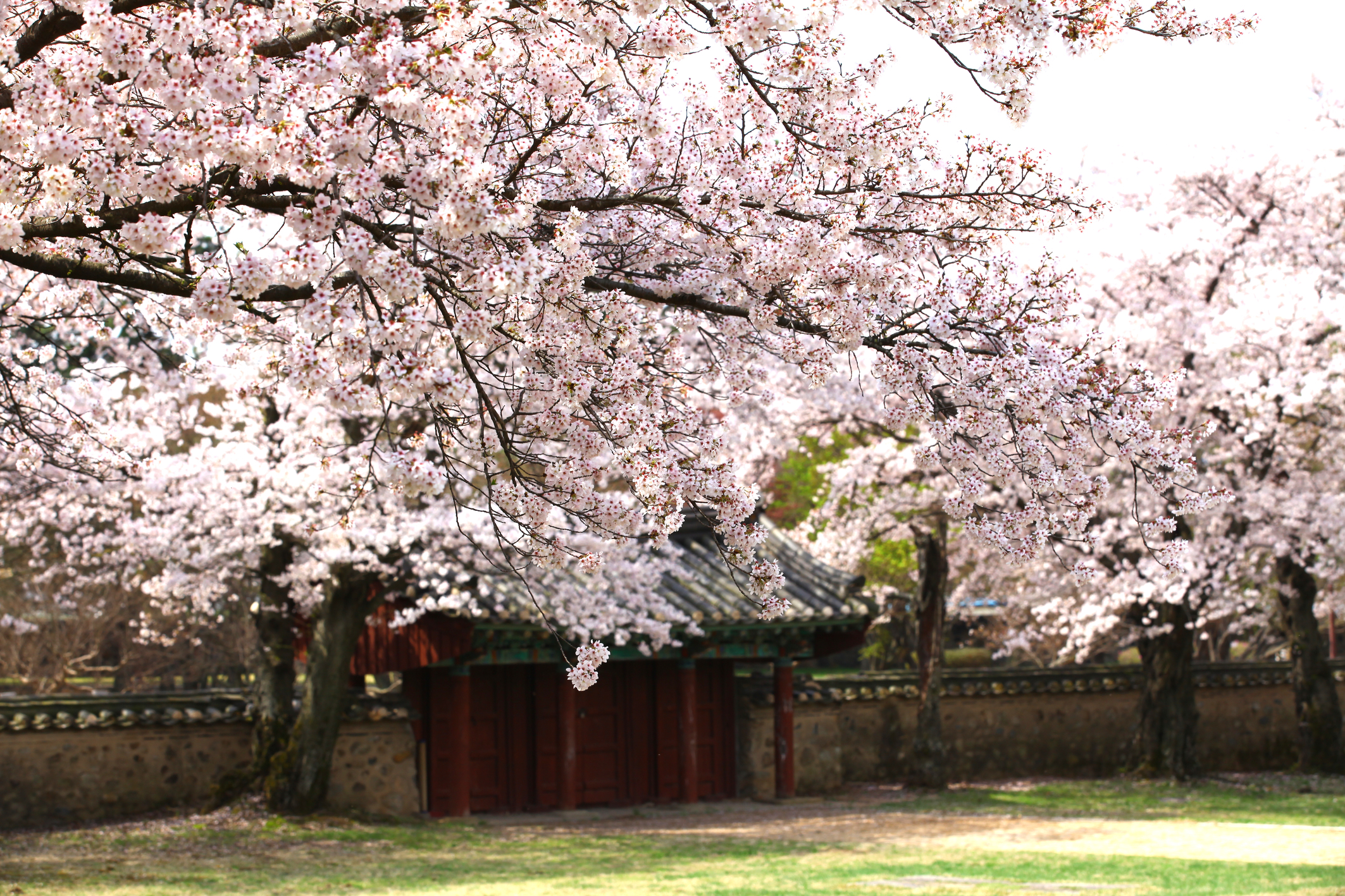 (Spring) Daegu Cherry Blossom Random One Day Tour