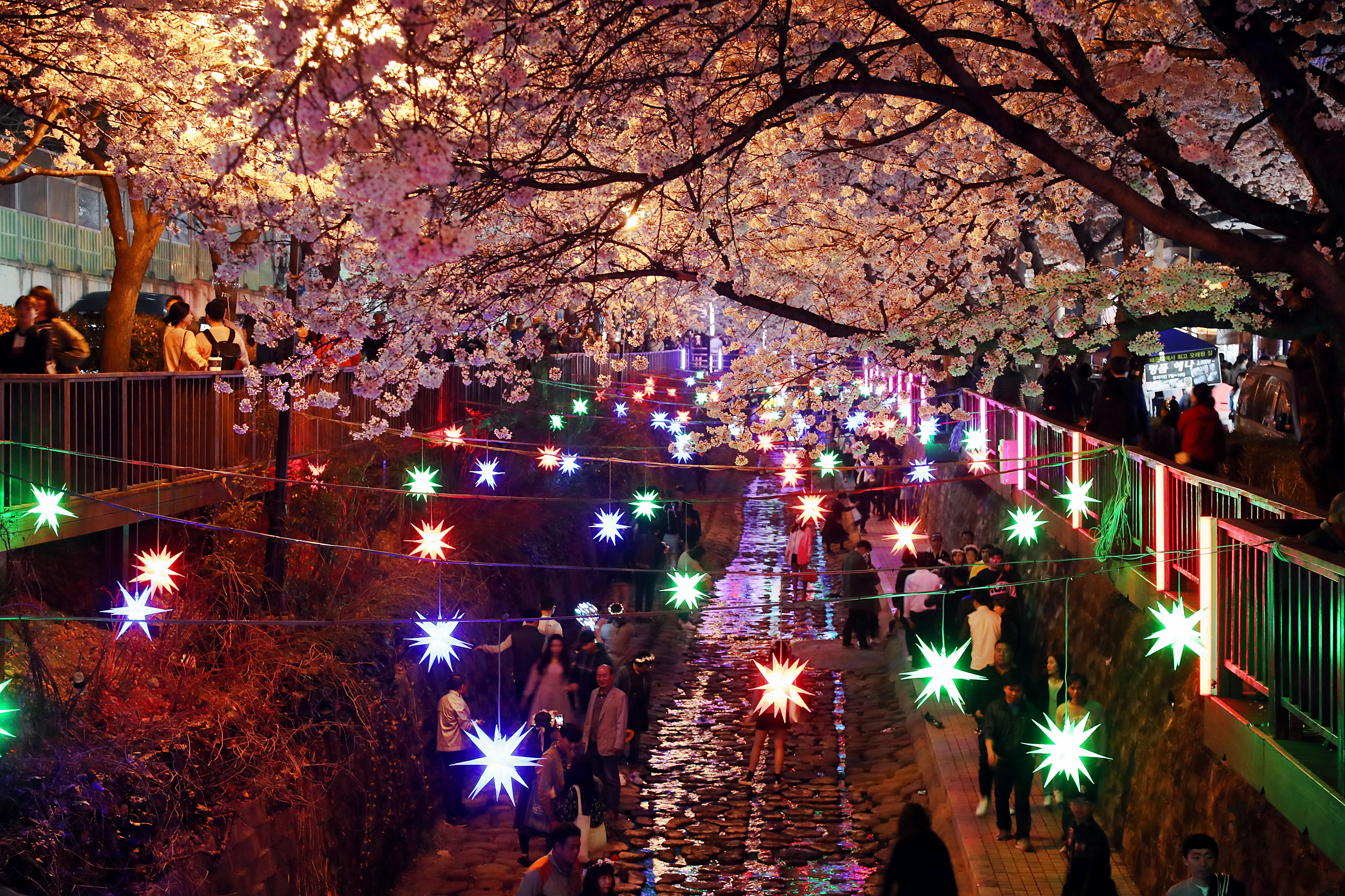 (Night Time)Jinhae Cherry Blossom - From Daegu