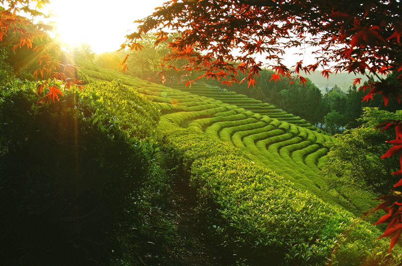 (Spring) 2020 Boseong Green Tea Festival - Depart from Busan