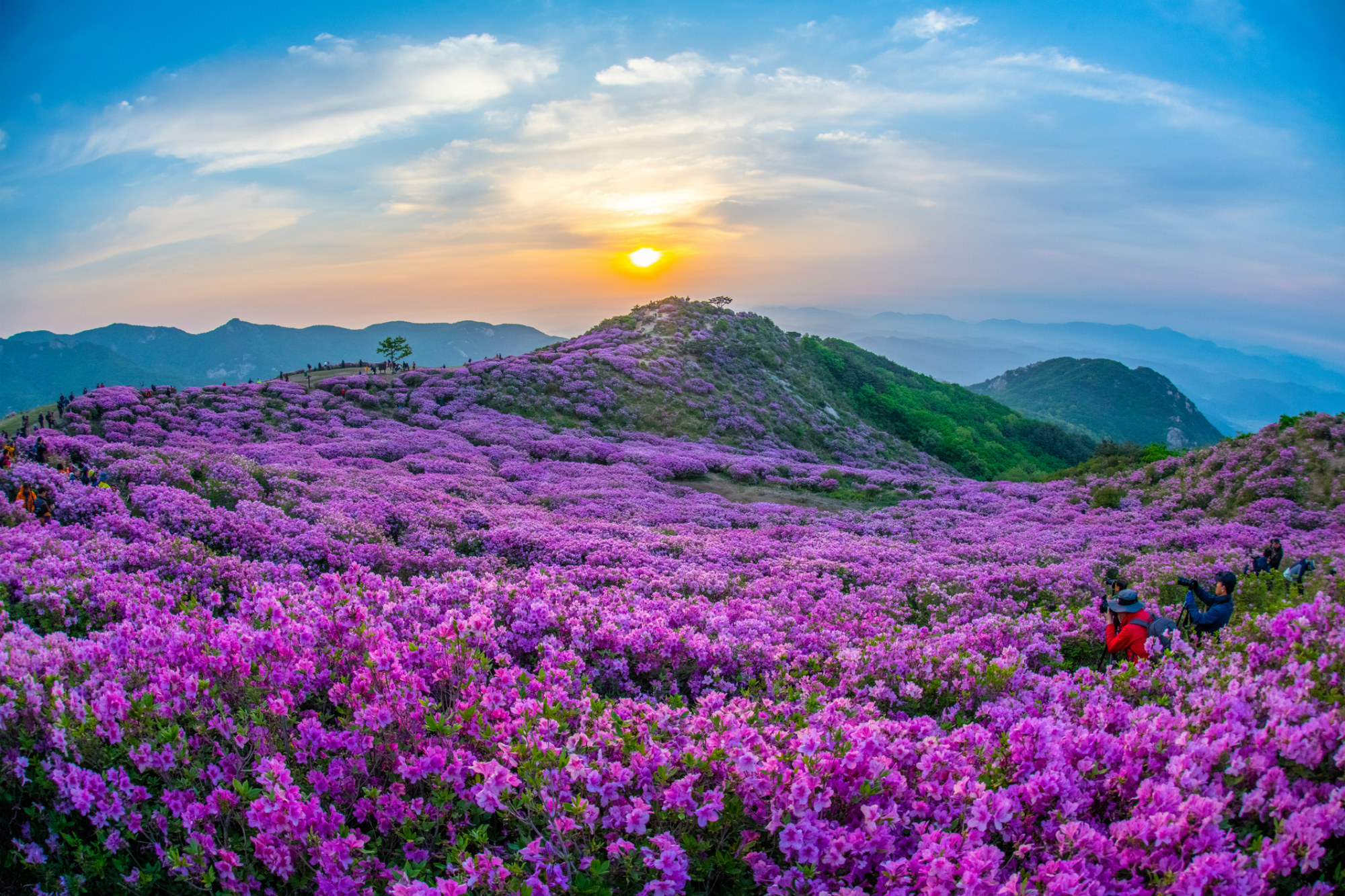 (Spring) 2020 Hwangmaesan Royal Azalea Festival One Day Tour