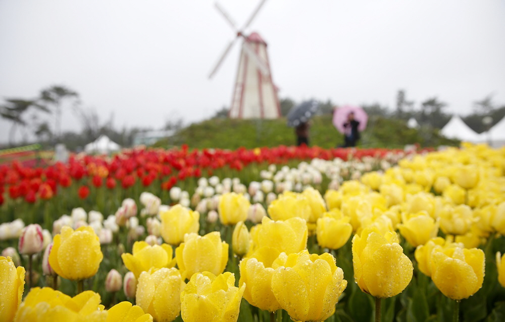 (Spring) Taean Tulip Festival + Strawberry Picking One Day Tour