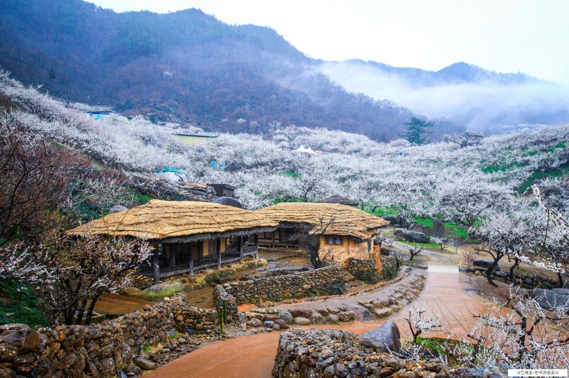 (春季) 2020 光陽梅花節 & 求禮山茱萸慶典 - 釜山出發