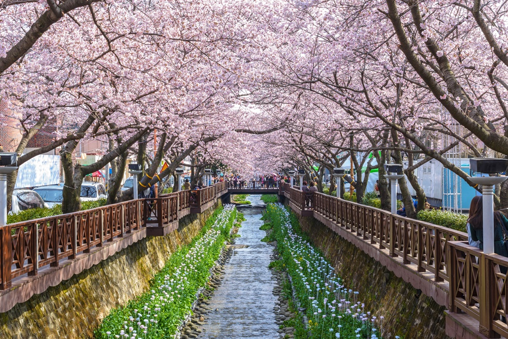(Day Time)Jinhae Cherry Blossom -  From Daegu